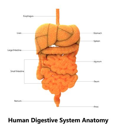 인간의 소화 시스템과 라벨 해부학