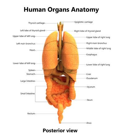 해부학 (후방보기)가있는 인체 기관