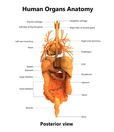 Human Body Organs With Labels Anatomy (Posterior View) Stock Photo ...