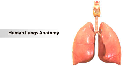 3D Illustration Concept of Human Respiratory System Lungs Anatomy 版權商用圖片
