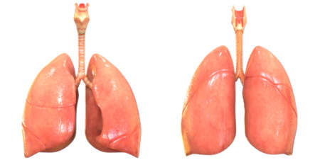 3D Illustration Concept of Human Respiratory System Lungs Anatomy Foto de archivo