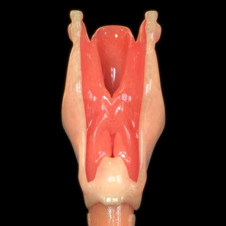 3D Illustration Concept of Human Respiratory System Larynx and Pharynx Anatomy