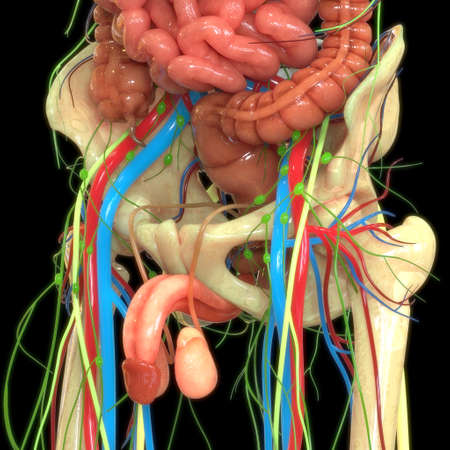 3D Illustration Concept of Male Reproductive System Anatomy