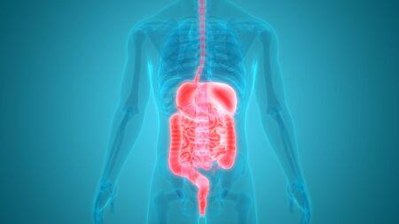 Human Digestive System Anatomy 스톡 콘텐츠