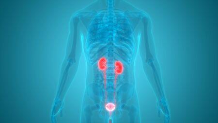 Human Urinary System Anatomy 스톡 콘텐츠