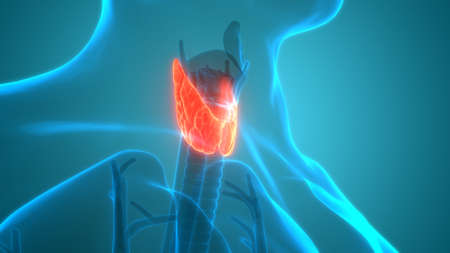 3D Illustration Concept of Human Body Glands Lobes of Thyroid Gland Anatomy