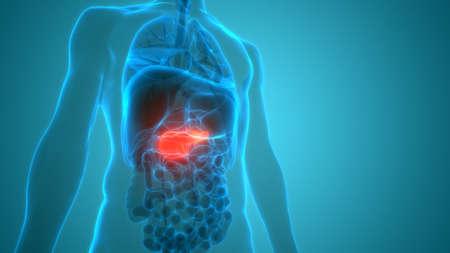 3D Illustration Concept of Human Internal Organ Pancreas Anatomy