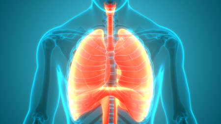 3D Illustration Concept of Human Respiratory System Lung with Diaphragm Anatomy