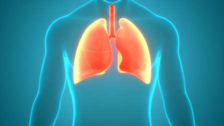 3D Illustration Concept of Human Respiratory System Lung Anatomy