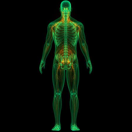 3D Illustration Concept of Human Skeleton System with nervous System Anatomy Stockfoto