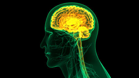 3D Illustration Concept of Central Organ of Human Nervous System Brain Anatomy Standard-Bild