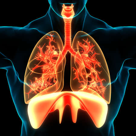 3D Illustration Concept of Human Respiratory System Lungs with Diaphragm Anatomy