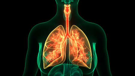 3D Illustration Concept of Human Respiratory System Lungs Anatomy