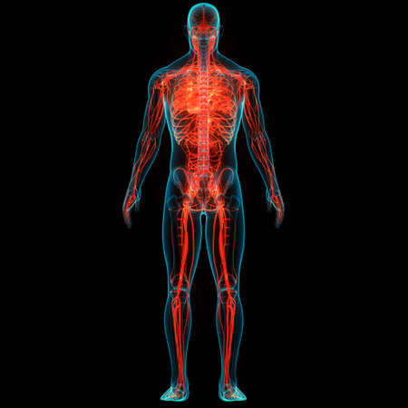3D Illustration Concept of Human Circulatory System Heart Anatomy Standard-Bild