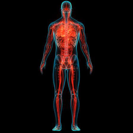 3D Illustration Concept of Human Circulatory System Heart Anatomy Stock fotó