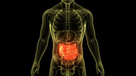 3D Illustration Concept of Human Digestive System Small Intestine Anatomy Stock fotó