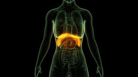 3D Illustration Concept of Human Respiratory System Diaphragm Anatomy