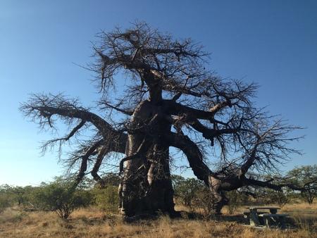 보츠와나의 Makgadikgadi 팬의 바오 바브 나무