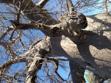 botswana: A baobab tree of Makgadikgadi pan in Botswana