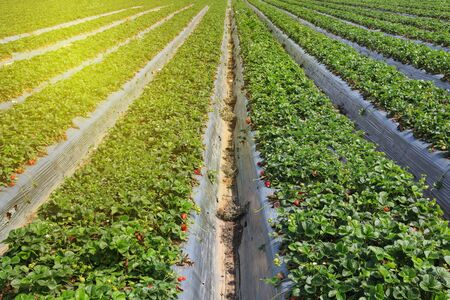 Agricultural field. Large Organic Strawberry green field. Foto de archivo