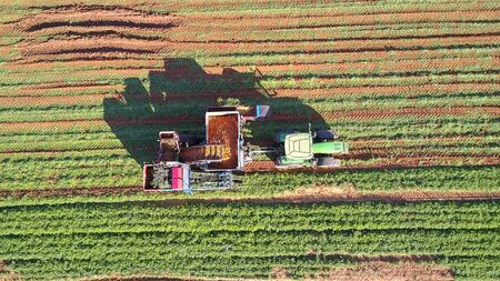 Agricultural machinery. Carrot harvesting using mechanized harvesting equipment. Large carrot field. 写真素材