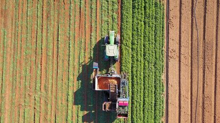 Carrot harvesting using mechanized harvesting equipment. Large carrot field. Agricultural machinery. 写真素材
