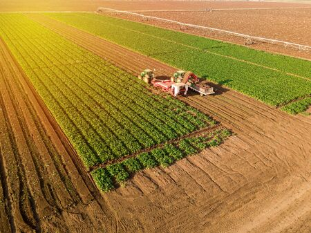 Agricultural field. Large green field with harvester combine.