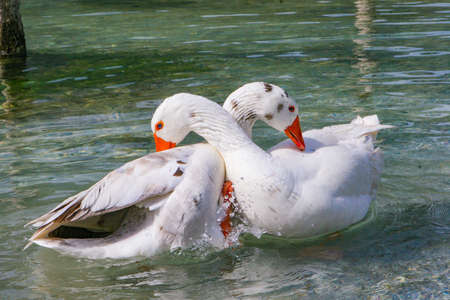 White Duck swimming in pond. White ducks clean and play, each other.