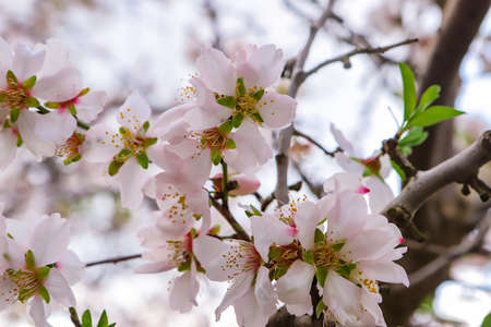 Branches of the almond tree.