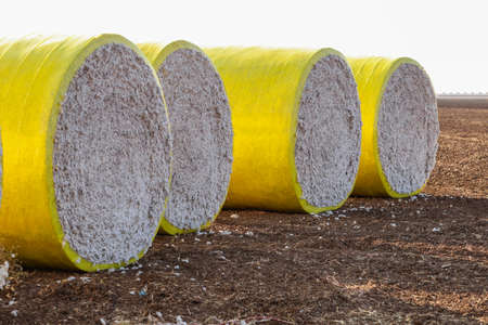 Cotton bales in bright yellow protective wrap. Round cotton bales in the field after being harvested.
