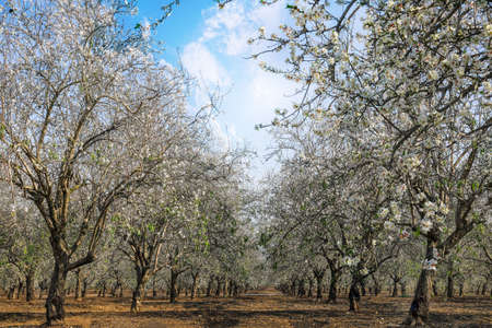 Almond trees - Almond orchard in blossom. Cluster of almond blossoms. 写真素材