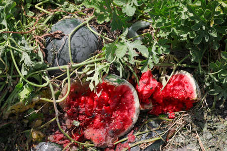 Damaged Watermelon in the field due to warm weather. Weather damage in agriculture. 写真素材