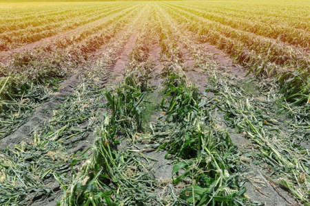 Cob Cornfield. Maize Corn agriculture field after harvesting.