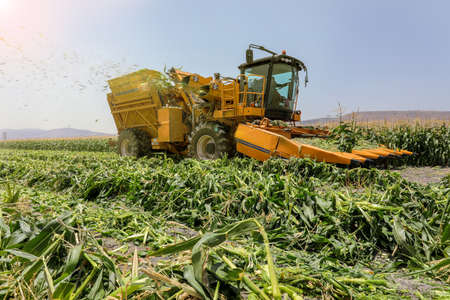 Harvest of Agriculture field. Corn picker harvesting a Sweet Cornfield.