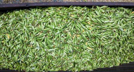 Large amount of fresh sweetcorn. Sweet Corn.