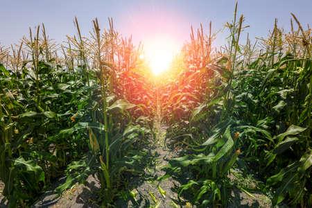 Cob Cornfield. Corn Maize Agriculture Field. 写真素材