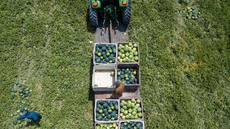 Farmers harvesting watermelons in the field. Watermelon Harvest.