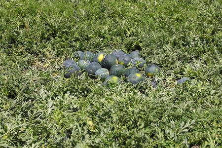 Organic Watermelons on a green Melon Field. 写真素材