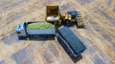 Sweet Corn. Truck trailer loaded with Sweet Corn Cobs at agriculture field.