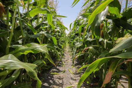 Maize Corn agriculture field. Cob Corn field. 写真素材