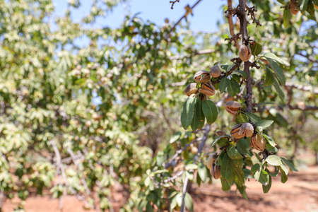 Almonds nuts. Green Almonds on the tree ready for harvest. Imagens