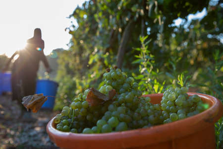 Women Picking Green Wine Grapes During Harvest.Grapes In The Vineyard.
