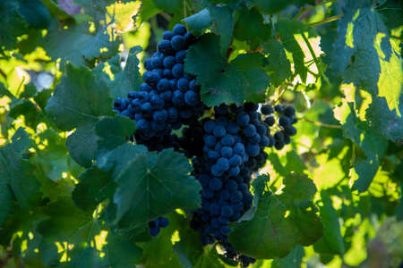 Grapes Wineries. Ripe dark purple grapes on vines tree at wine harvest time on a green background on a vineyard.