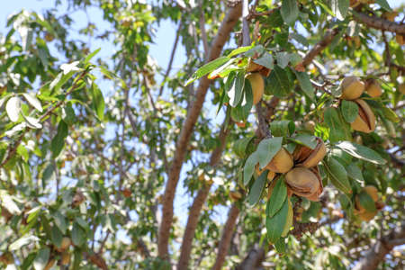 Almonds nuts. Green Almonds on the tree ready for harvest. 스톡 콘텐츠