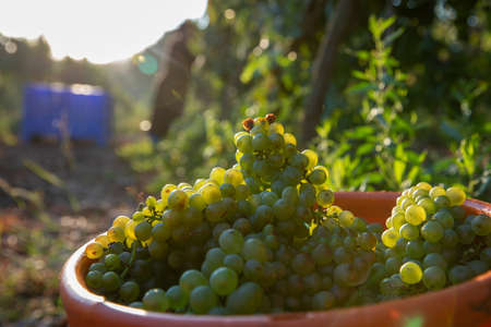 Picking Green Wine Grapes During Harvest. Grapes In The Vineyard.