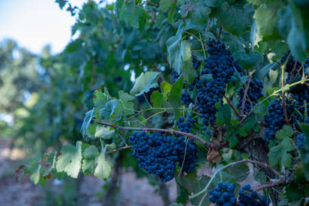 Grapes Wineries. Bunch of red grapes. Mature grapes, ready to harvest. 스톡 콘텐츠