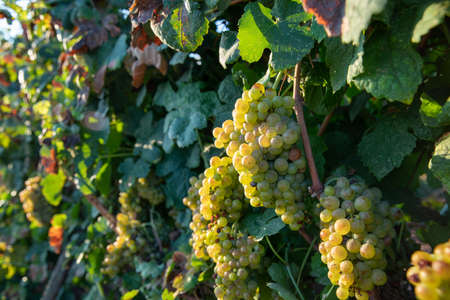 Bunch of Ripe Vineyard Grapes. Grapes Wineries.