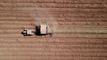 Peanut harvest by agriculture machine. Drone view.