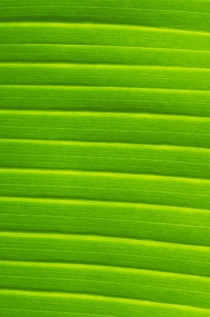 Banana Leaf Veins photo