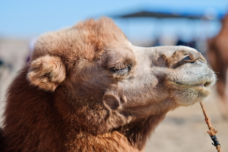 camel in desert, northwest of China photo